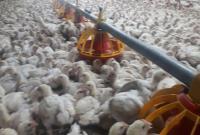 افزایش قیمت تمام شده تولید مرغ به ١۴ هزار و ۵٠٠ تومان