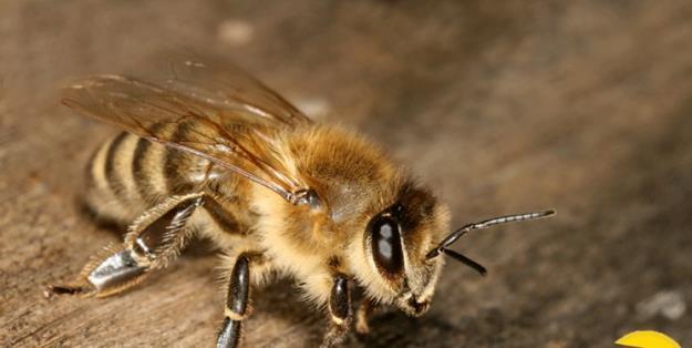 واکنش انستیتو پاستور به ادعای درمان کرونا با «نیش زنبور عسل»